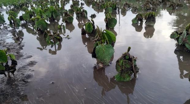 Lokalnie deszcze nawalne z gradem uszkadzały uprawy [zdjęcia]