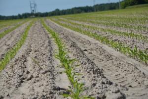 Kukurydza w bardzo zróżnicowanym stadium rozwoju – nadal sucho