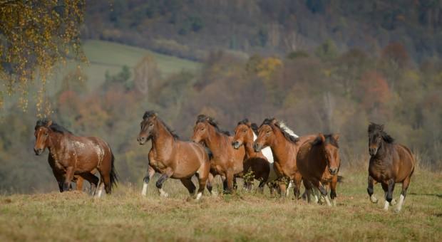Blisko 6 tys. koni huculskich żyje w Polsce