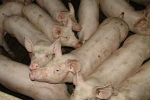 KZP-PTCh: Rychły koniec spadków cen świń rzeźnych
