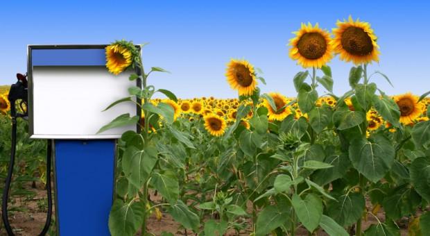Niemcy: Uprawa surowców odnawialnych prawie stabilna