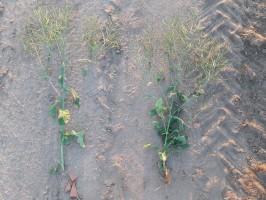 Po lewej roślina kontrolna, po prawej po zastosowaniu Caryx 240