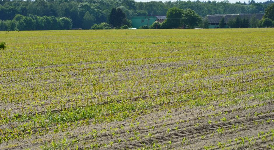 Siarka w kukurydzę