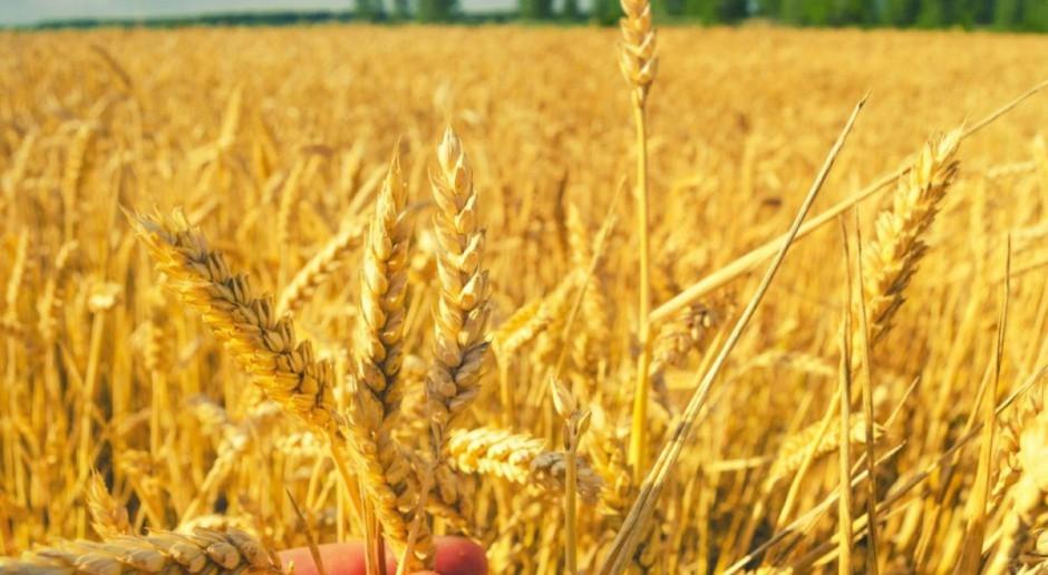 IGC: Mniejsza prognoza produkcji zbóż w sezonie 2017/2018