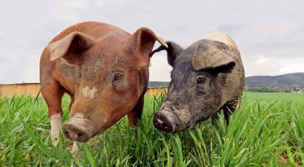 Wielka Brytania: Więcej zwierząt w gospodarstwach ekologicznych