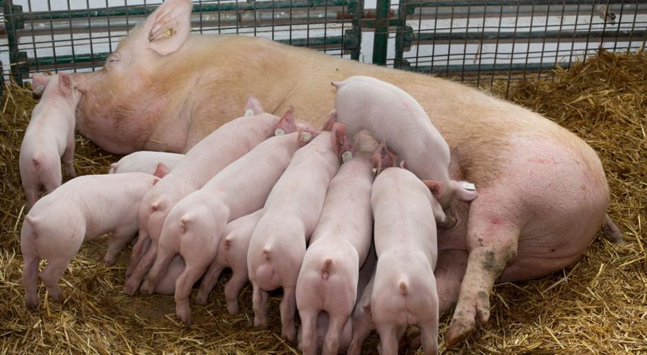 Ekologiczny i nowoczesny chów świń - zobacz jak to robią Niemcy