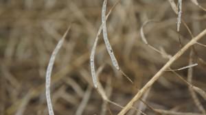 Fot. Pękanie nasion jest przyczyną dużych strat plonu
