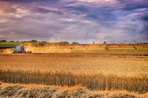 Rosja: Mniejsze zbiory zbóż z powodu suszy