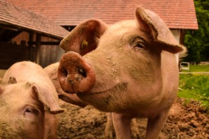 W Anglii zwiększa się hodowla ekologicznej trzody chlewnej