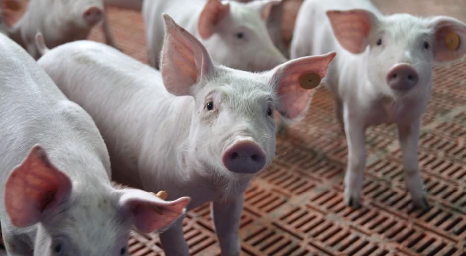 Opłacalna produkcja świń - w nowoczesnej chlewni