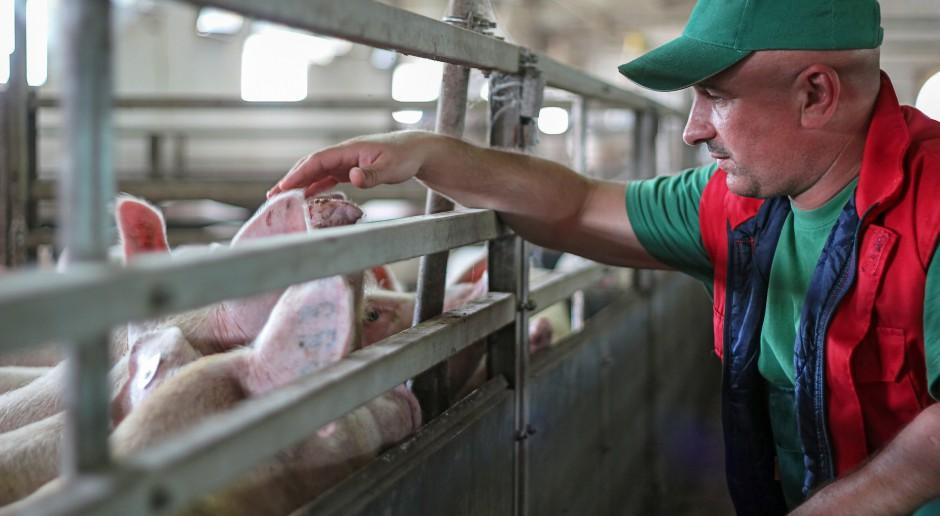 Trudna sytuacja w produkcji wieprzowiny