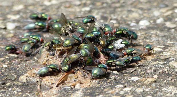 Walka z muchami w chlewni ma znaczenie w zapobieganiu PED