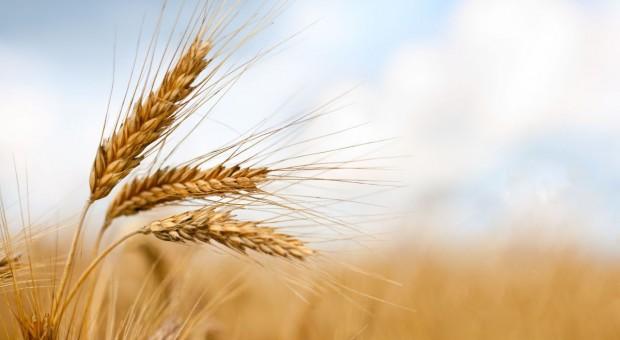 Ostra korekta cen zbóż na światowych giełdach