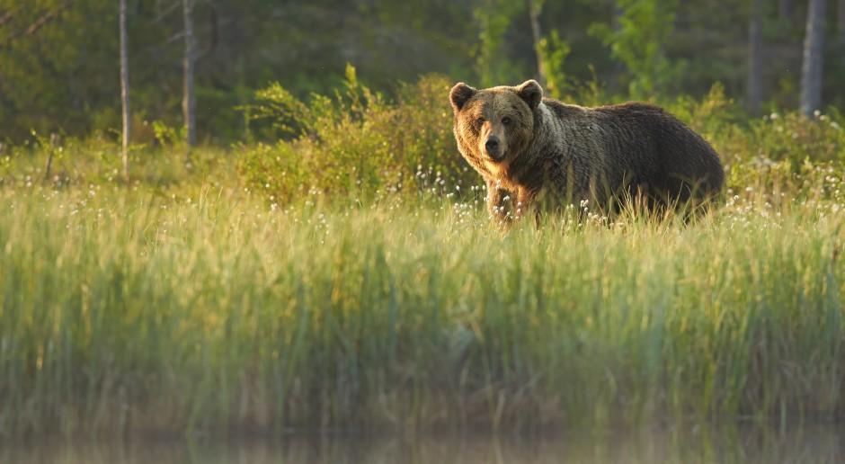 Wygłodniałe niedźwiedzie buszują w pasiekach