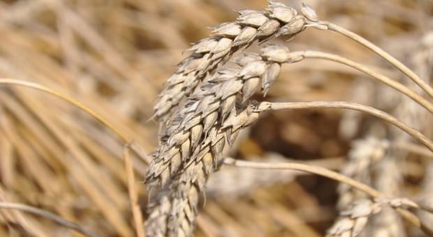 Na jesieni ceny zbóż mogą być o kilka proc. wyższe rdr - KOWR