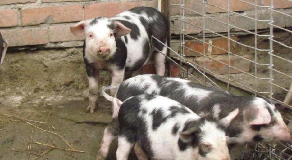 ASF – gwóźdź do trumny dla ekologicznego chowu świń?
