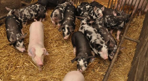 Świnie rasy puławskiej - popularne w Kujawsko-Pomorskiem
