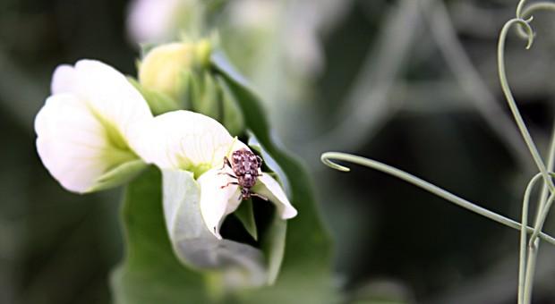 Czym zwalczać strąkowca i mszyce w grochu?
