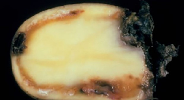 Wykryto śluzaka – import ziemniaków z Egiptu wstrzymany