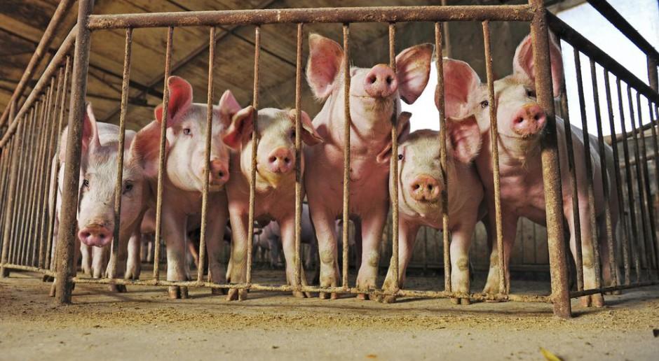 Jak wirus ASF wniknął do gospodarstw utrzymujących świnie