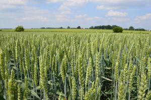 Stan fitosanitarny zbóż i rzepaku