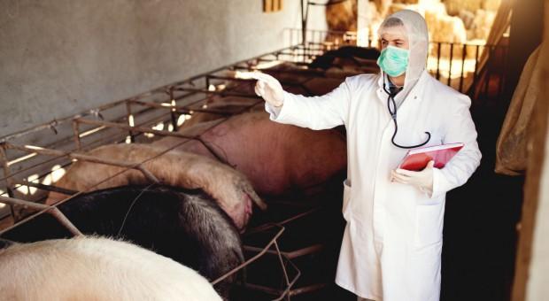 Trwa likwidacja ogniska ASF na dużej fermie świń