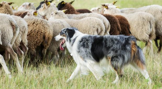 Hodowcy owiec dostali psy pasterskie do ochrony stad