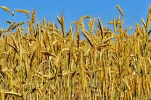 FAO: Światowa produkcja zbóż spadnie, ale zapasy nadal duże