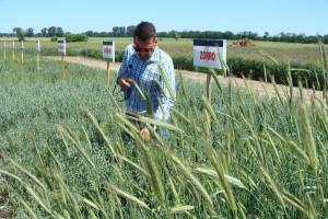 Tomasz Szymański – product manager ds. zbóż konwencjonalnych Saaten Union prezentuje poletka zbożowe, fot. ArT