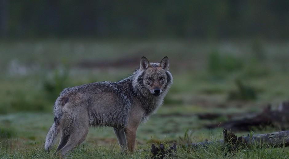 Finowie protestują w związku z rosnącą liczbą wilków na zachodzie kraju