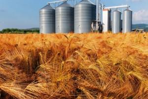 USDA: Mniejsze prognozy produkcji pszenicy i zbóż paszowych