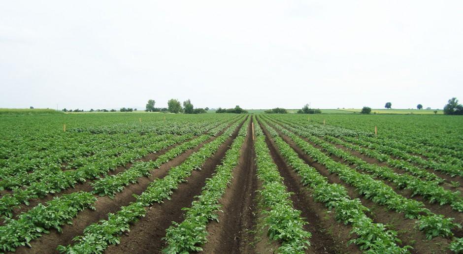 Odchwaszczanie powschodowe ziemniaków