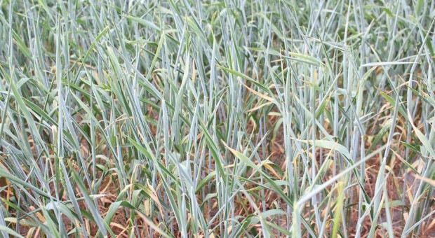 Susza zagraża blisko połowie upraw zbóż jarych