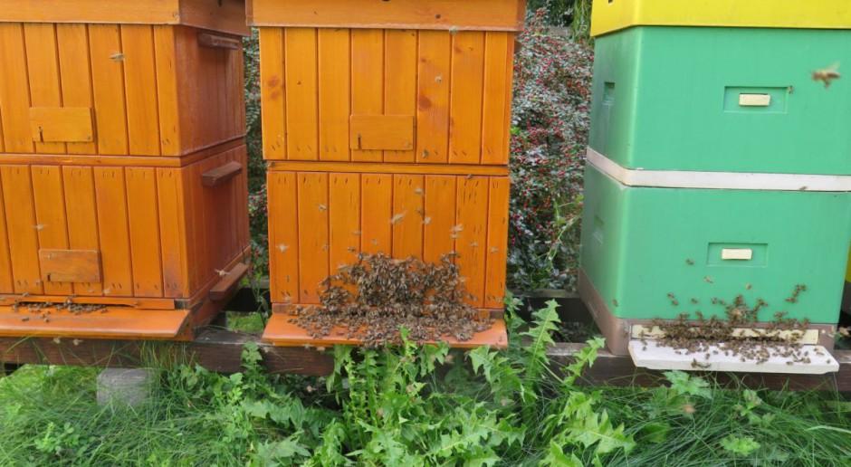 Miododajne pszczoły: nawet 100 kg z ula