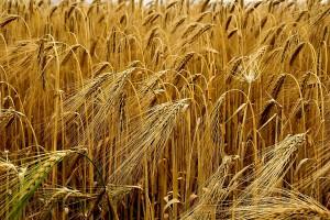 W niektórych rejonach Ukrainy rozpoczęto wczesne zbiory zboża i roślin bobowatych