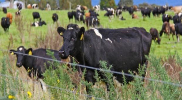 Niemcy: Opryszczka bydła w Nadrenii Północnej Westfalii