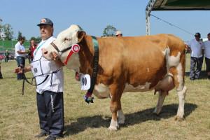 Czempion w kategorii krowy rasy simentalskiej hodowli Janusza Franciszka Więcława