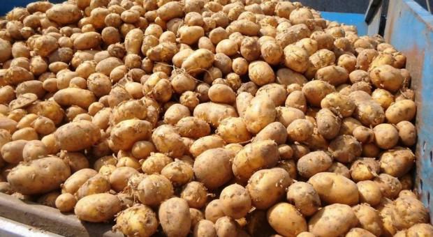 Bardzo niskie ceny – nawet młodego ziemniaka