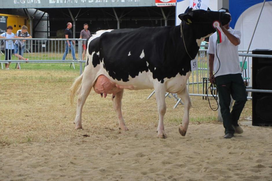 Rosita (wyhodowana w OHZ Dębołęka) – wiceczempion w kategorii krów w trzeciej laktacji i starszych