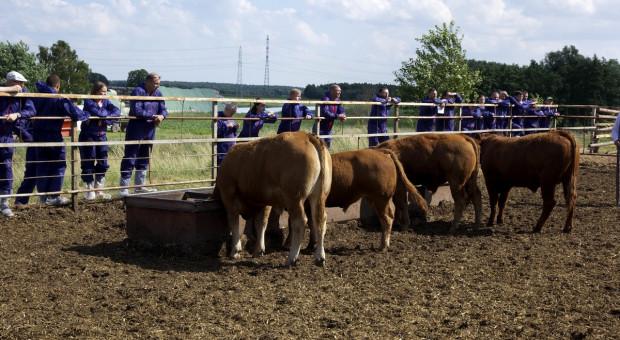 Produkcja bydła mięsnego: Polska vs. USA