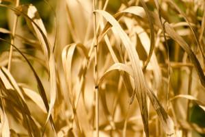 Ukraina: Mniej zboża z powodu suszy