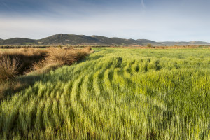 W Hiszpanii rolnicy cieszą się z deszczu i liczą na wysokie plony