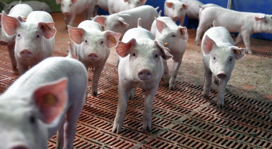 Kolejne trzy ogniska ASF. Pomór w stadzie ponad 1000 świń