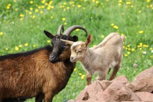Copa i Cogeca z zadowoleniem przyjmują poparcie PE dla hodowców owiec i kóz