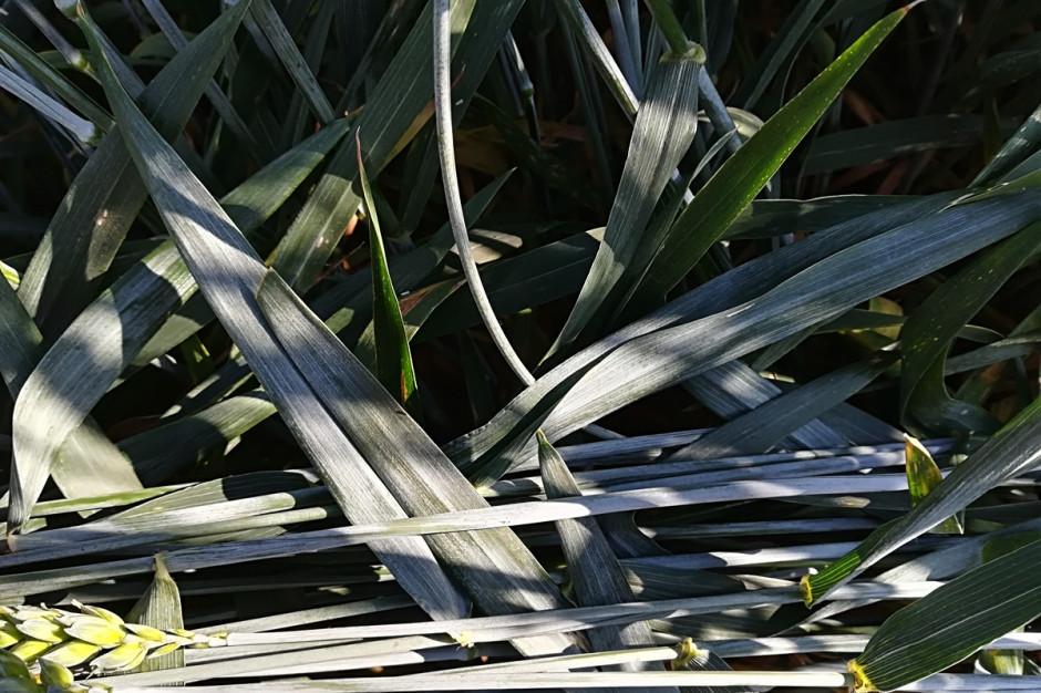 Stan na 20 czerwca. Jak widać liście pszenicy są wolne od chorób