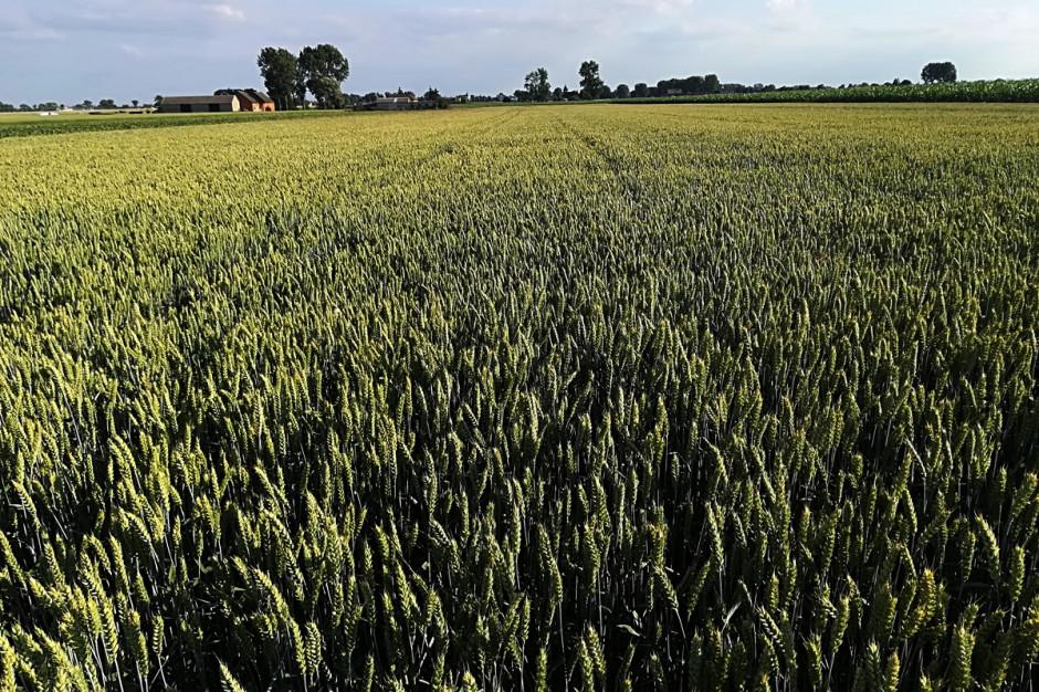 Tak prowadzona przeze mnie plantacja w obliczu suszy uważam, że prezentuje się nie najgorzej. Stan na 20 czerwca