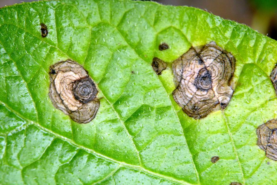 Sucha plamistość liści – charakterystyczny wygląd plam nekrotycznych; Fot. dr Jerzy Osowski, IHAR-PIB, Oddział Bonin