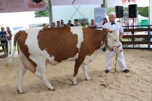 Czempion w kategorii krowy rasy montbeliarde