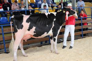 Czempion w kategorii krowy w I laktacji rasy PHF