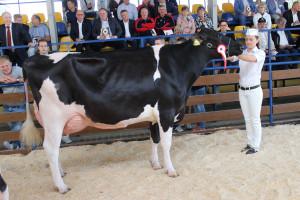Czempion w kategorii krowy w II laktacji rasy PHF